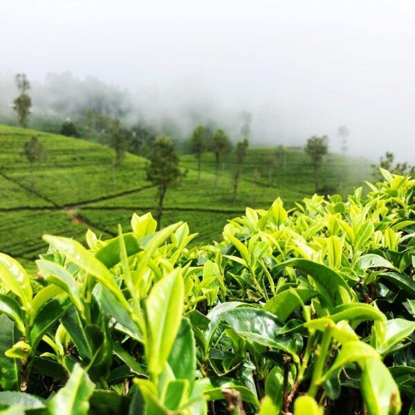 Zielona herbata – właściwości. Jak działa                 i kto może ją pić?